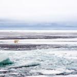 Isbjørn og drivis