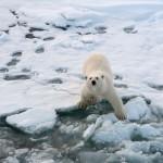 Nysgjerrig isbjørn