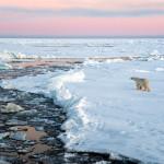Isbjørn i solnedgong
