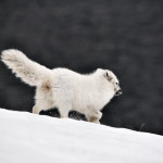 Polarrev i Bjørndalen