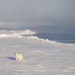 Isbjørnbesøk