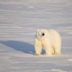 Isbjørn i vårsol